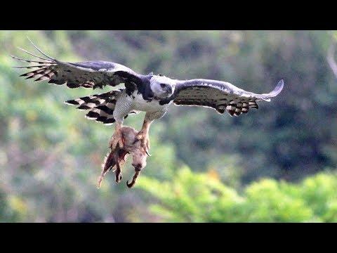 فيديو مرعب كثير ....يصطاد الصقر القرد ويقتله ويغذي فراغه