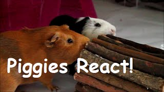 GUINEA PIGS REACT TO NEW CAGE!