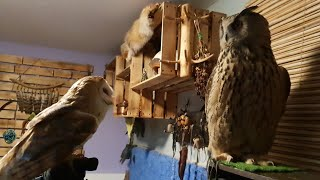 Puff the barn owl visiting Yoll the Eagle-Owl and Iva the hawk-owl, mukbang from Marina