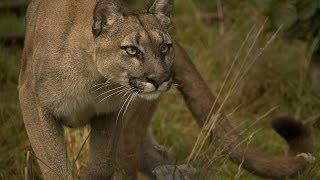 Cougar / Пума кугуар