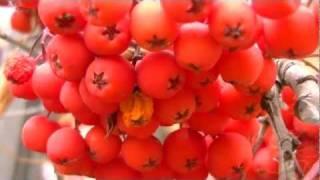 My garden. Рябина осенью. Rowan in autumn. Мой сад / огород