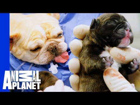 Buttercup The French Bulldog's Emergency C-Section | The Vet Life