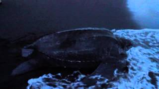 Leatherback Turtles and Hatchlings on the Beach - Mermaid