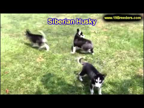 siberian-husky,-puppies-for-sale,-in,-bellevue,-washington,-wa,-yakima,-kitsap,-thurston,-clark,-spo