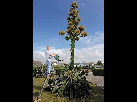 США. Цветение агавы перед смертью. Из Агавы делают текилу!