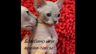 Бамбино или кошки-таксы