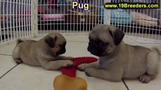 Pug, Puppies, For, Sale, In, Salt Lake City, Utah, Ut, Tooele, Kearns, Cottonwood Heights, Pleasant