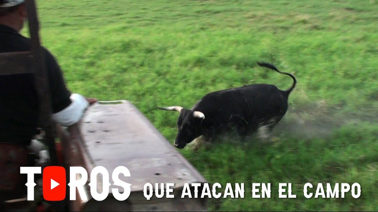 Toros Que Atacan En El Campo 2 Youtube