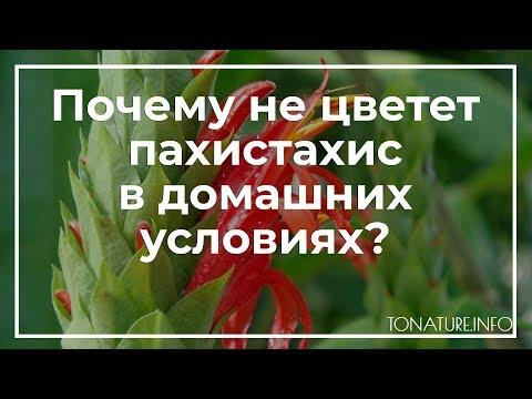 Почему не цветет пахистахис в домашних условиях? | toNature.Info