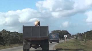 Un cochon s'échappe d'un camion