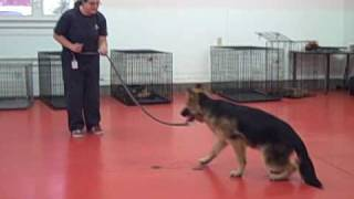 German Shepherd Basic Obedience