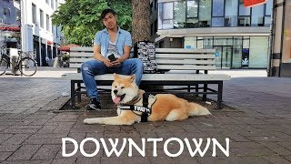 Akita Dog - Yuki is exploring Downtown Hannover in Germany. We all ...