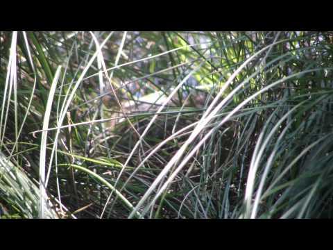 Beaver at Stone Lakes National Wildlife Refuge July 2011