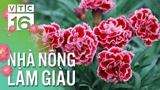 """""""Hái"""" tiền tỷ nhờ trồng hoa cẩm chướng 4.0 xuất ngoại   VTC16"""