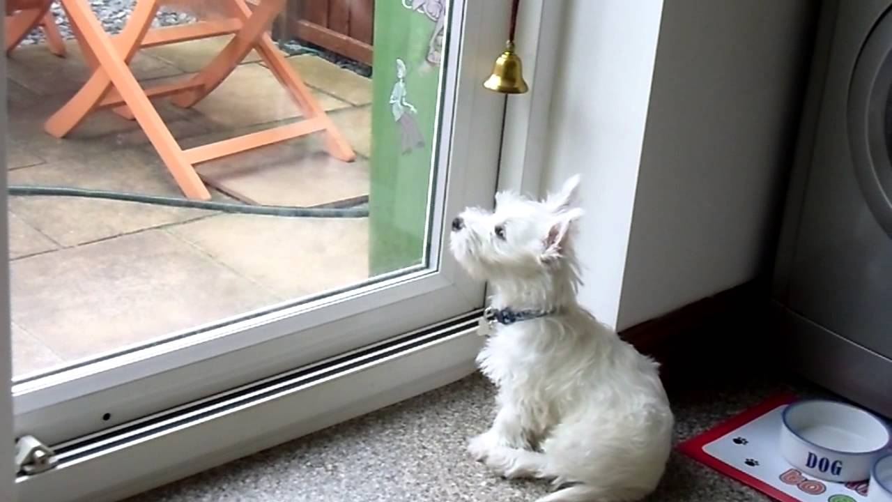 Alfie 3 Month Old Westie Rings Bell To Go Outside Puppy Training Youtube