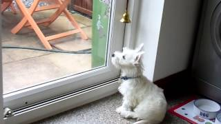 Alfie    3 month old Westie rings bell to go outside (puppy training)