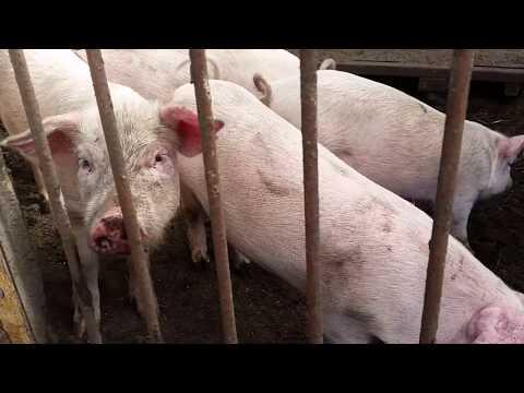 Мои свиньи порода крупная белая