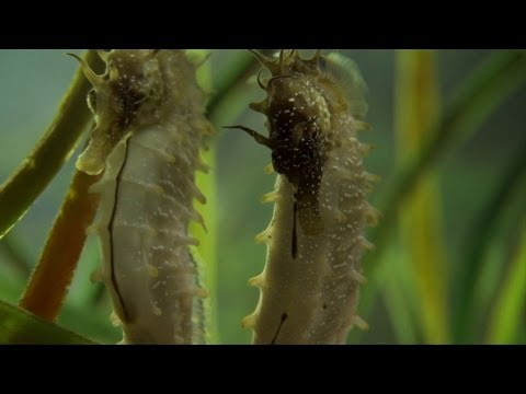 Seahorse Mating Dance - The Great British Year: Episode 2 Preview - BBC One
