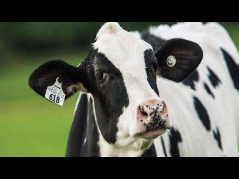 ما هو صوت البقرة Youtube