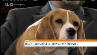 Beagle Takes Top Honors At Westminster Kennel Club Dog Show