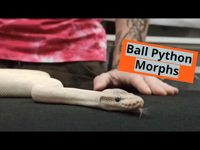 Ball Pythons Morphs | | Feeders Strs 66