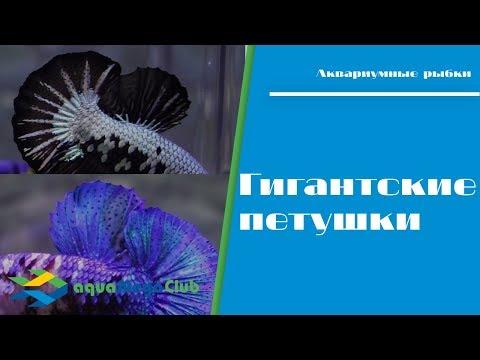 Размер имеет значение)) гигантская бойцовая рыбка (гигантский петушок, великан)
