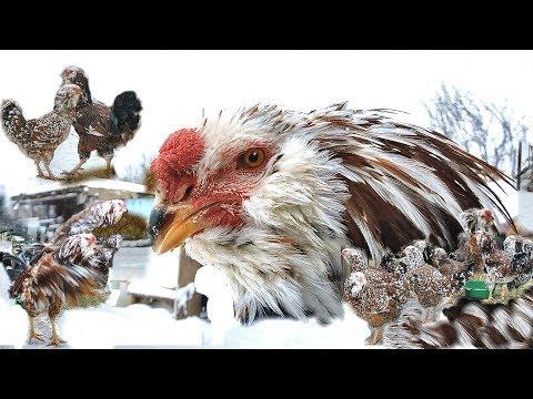 Russian Orloff Chickens орловские куры Tango