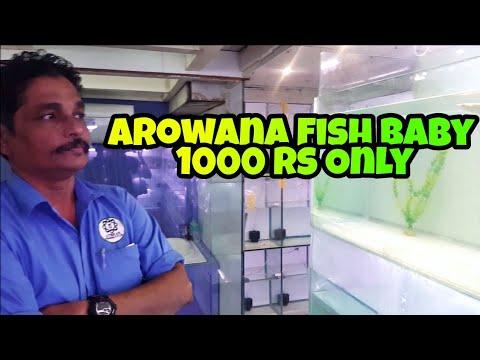 Arowana Fish Baby 1000 Rs Only | UTEKAR FISHERIES PVT LTD