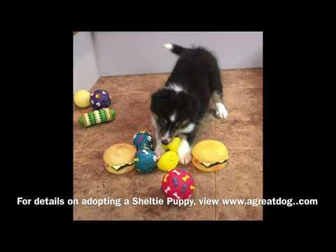 Sheltie Female Puppiy