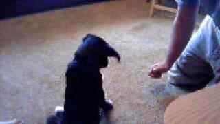 Spade (lab Mix): Puppy Training At 12 Weeks. A Parvo Survivor.