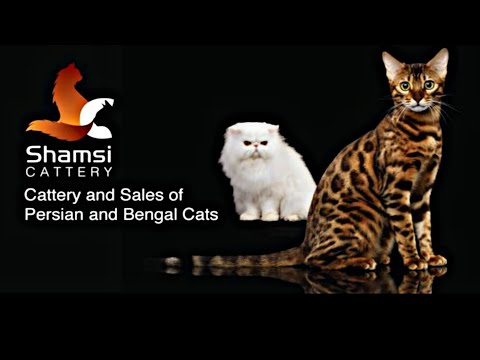 Bengal Cat Of Syed Tabrez From Banglore