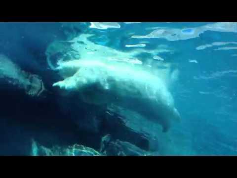 Polar Bears at Journey to Churchill
