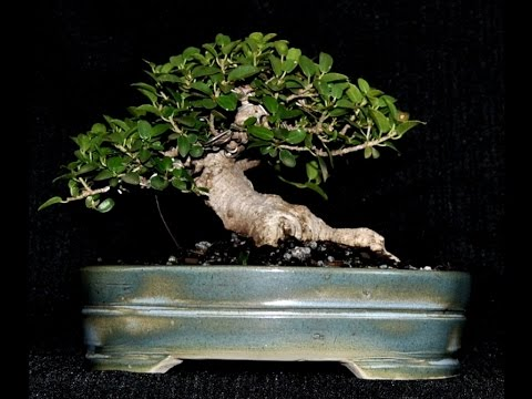 Ficus Burtt-davyi - Ugly duckling changing into a swan