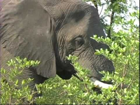 Elephant Eating Habits What do Elephants Eat