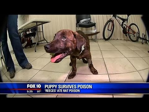 Puppy Who Ate Rat Poison Recovering After Close Call