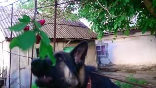 Немецкая овчарка кушает ягоды с дерева.
