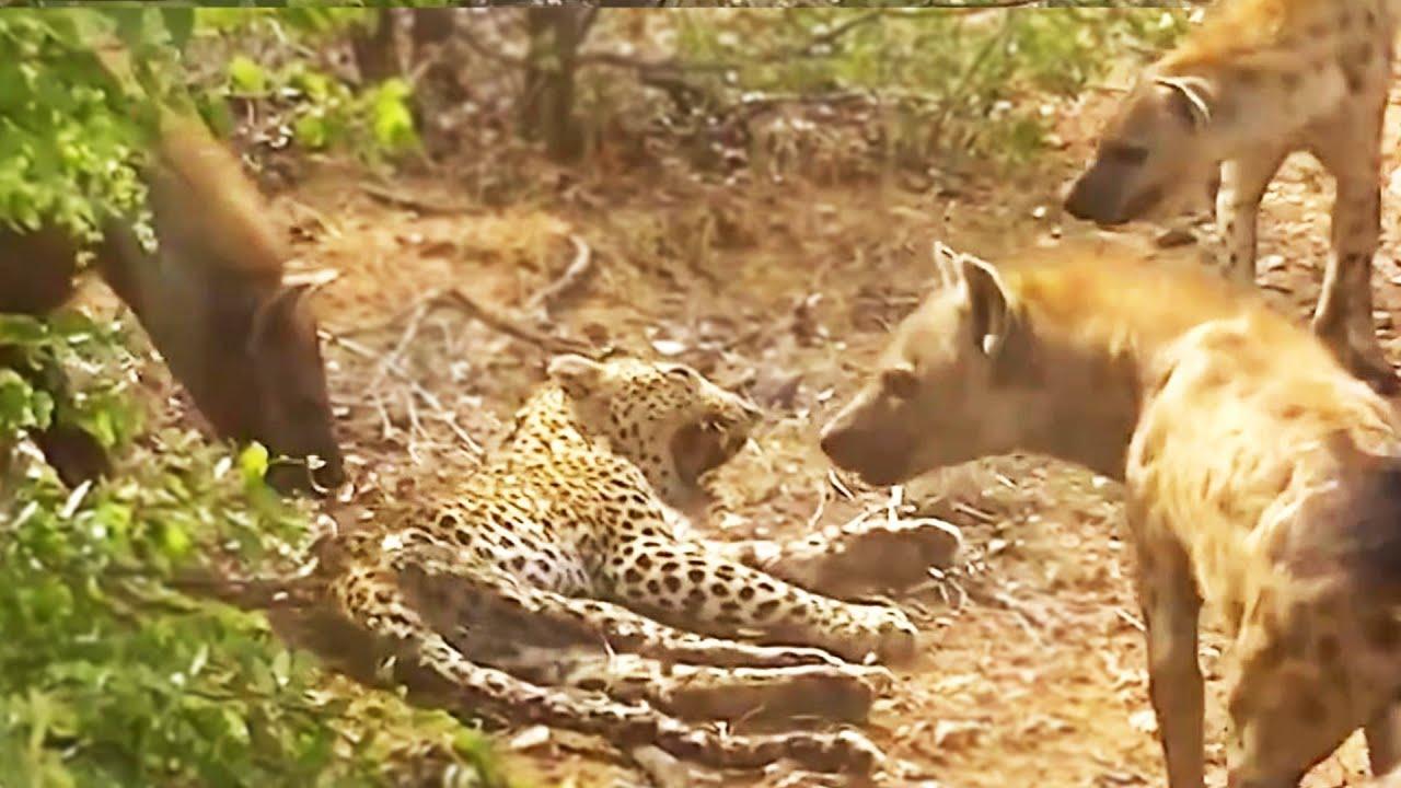 표범과 하이에나 제휴 사냥,하지만 결국 비극이 일어났습니다.