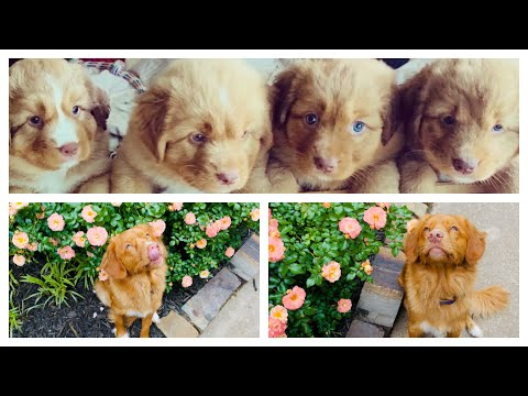 The first 8 weeks you never see- TOLLER-NOVA SCOTIA DUCK TOLLING RETRIEVER