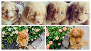 The first 8 weeks you never see TOLLERNOVA SCOTIA DUCK TOLLING RETRIEVER