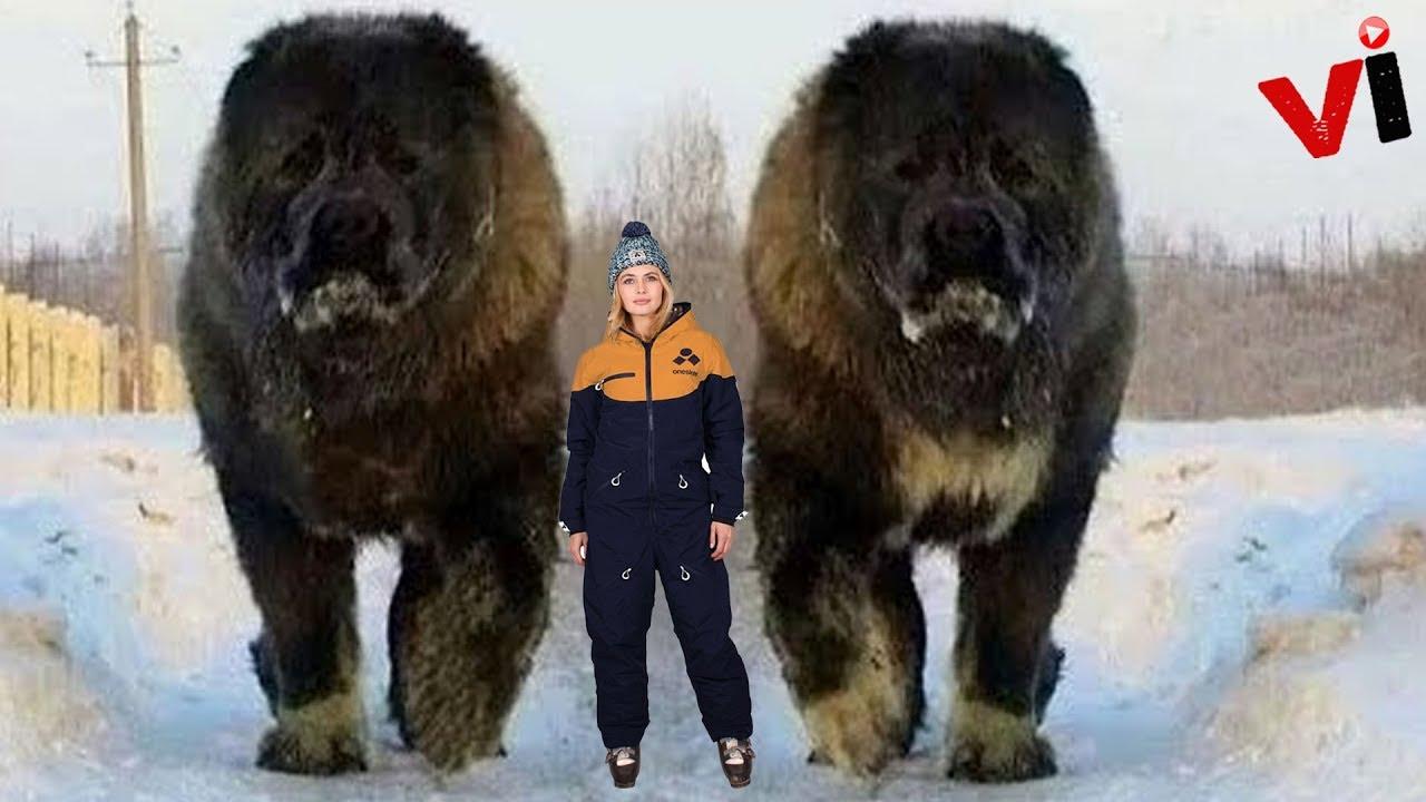 Big Fluffy Russian Dog