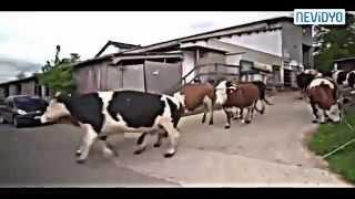 İlk defa güneş ve doğa gören inekler  gözleriniz yaşaracak