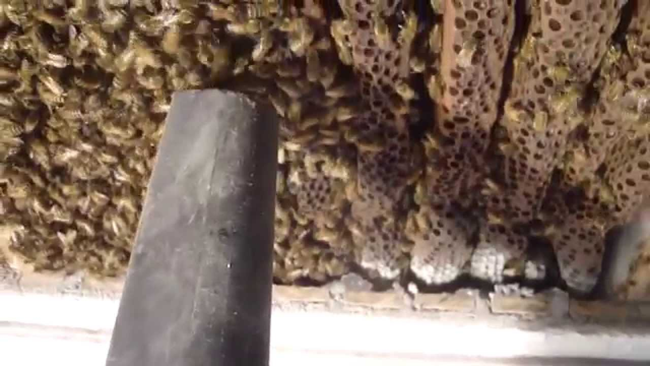 Bees From A Plaster And Lath Ceiling