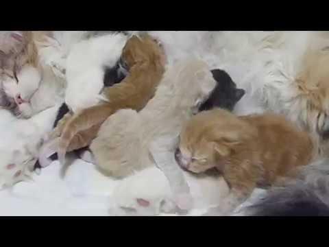 NORVÉG ERDEI MACSKA KÖLYKÖK / NORWEGIAN FOREST CAT KITTENS - the Expanse litter