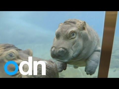 CUTE VIDEO: Baby hippo makes debut splash