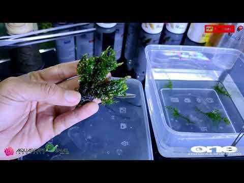 Willow Moss ( fontinalis Antipyretica ) bahas simpelnya aja lurr.....