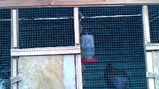 Ayam Bekisar suara lantang