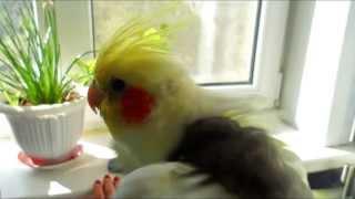 Как научить кореллу петь. Как поет корелла. Cockatiel sings