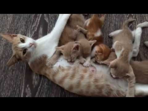 Mommy cat feeding hungry cute kittens, poor mama