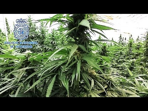 Incautan 9 toneladas de marihuana en una plantaci�n de Murcia
