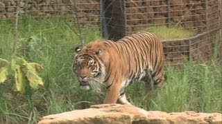 Sumatran tiger takes swimming lessons at London Zoo
